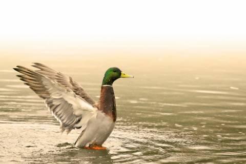 Mallard Duck on water